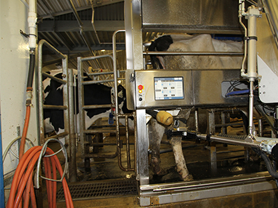 The robotic milker in action.