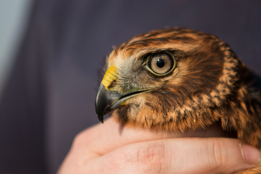 Bolt, a northern harrier hawk, just before he was released back into the wild. Bolt made a full recovery after being brought to the WCVM last September with puncture wounds, a fractured wing and broken tail feathers. (Photo by Caitlin Taylor)