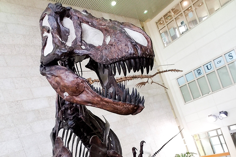 Rexy, as seen from the second floor of the Geology building (photo by Brian Kachur)