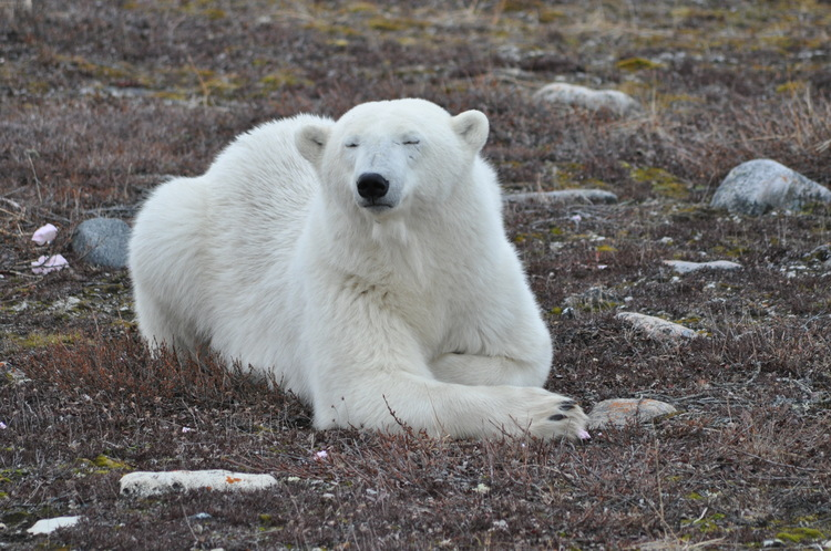 Polar bears were among the nearby wildlife during the ISAMR student research program to Wapusk National Park, including one who took a nap against the camp perimeter fence (photo courtesy Ryan Brook).