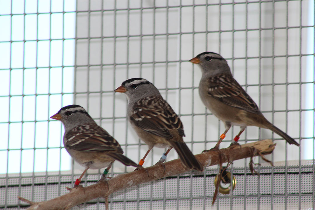 Sparrows at the Facility for Applied Avian Research (photo by Gwen Roy).