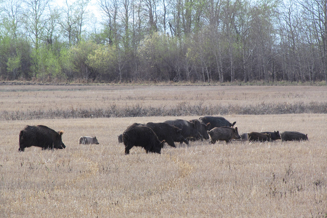 Wild pigs invade Canadian provinces—an emerging crisis for agriculture and the environment